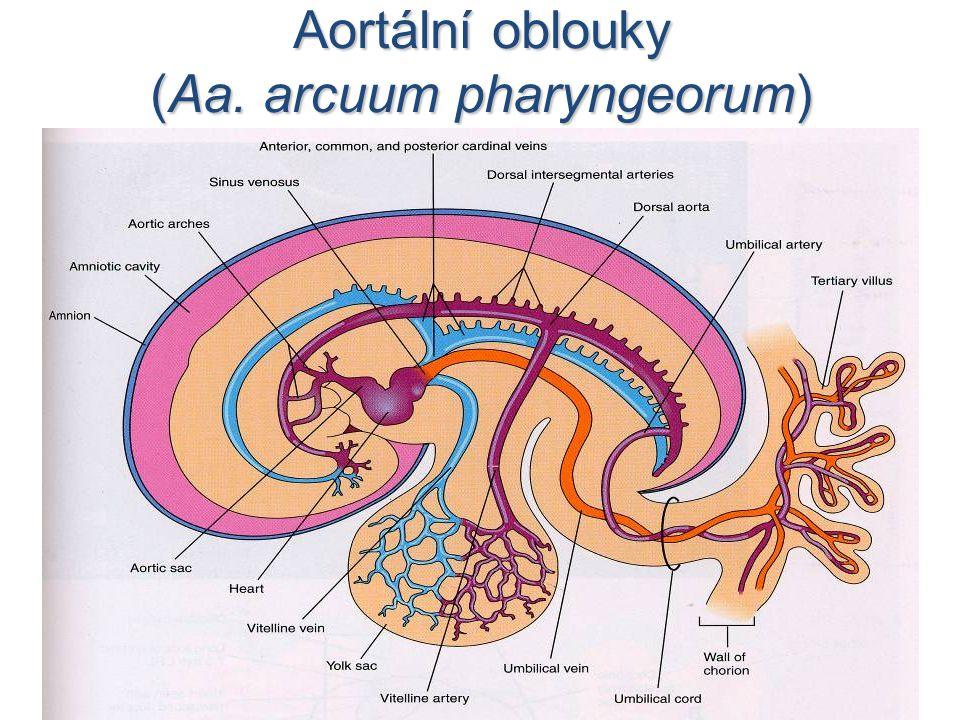 Aortální oblouky (Aa. arcuum pharyngeorum)