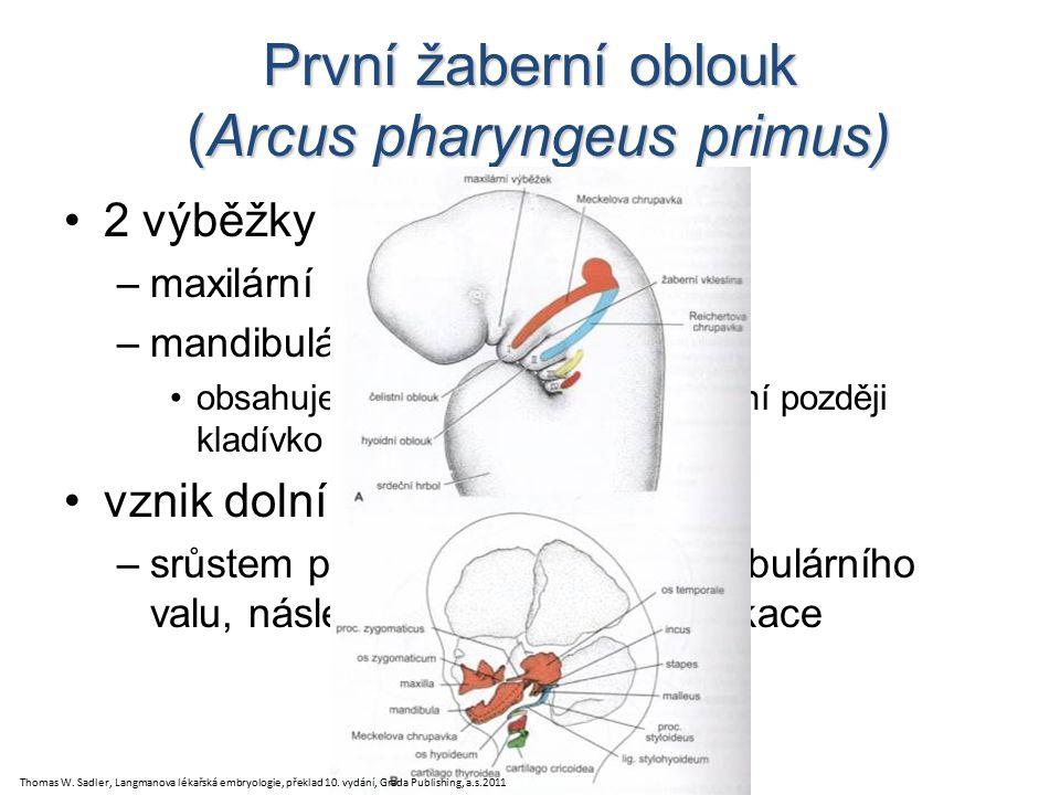První žaberní oblouk (Arcus pharyngeus primus) 2 výběžky –maxilární (kraniálně) –mandibulární (kaudálně) obsahuje Meckelovu chrupavku (z ní později kladívko a kovadlinka) vznik dolní čelisti –srůstem pravého a levého mandibulárního valu, následná dezmogenní osifikace Thomas W.