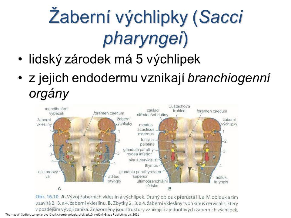 Žaberní výchlipky (Sacci pharyngei) lidský zárodek má 5 výchlipek z jejich endodermu vznikají branchiogenní orgány Thomas W.