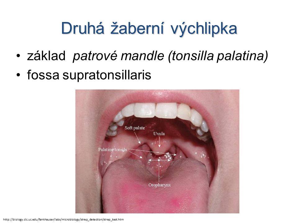 Druhá žaberní výchlipka základ patrové mandle (tonsilla palatina) fossa supratonsillaris http://biology.clc.uc.edu/fankhauser/labs/microbiology/strep_detection/strep_test.htm