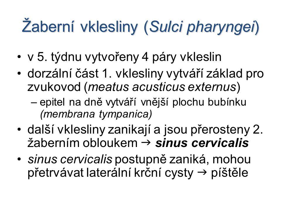 Žaberní vklesliny (Sulci pharyngei) v 5.týdnu vytvořeny 4 páry vkleslin dorzální část 1.