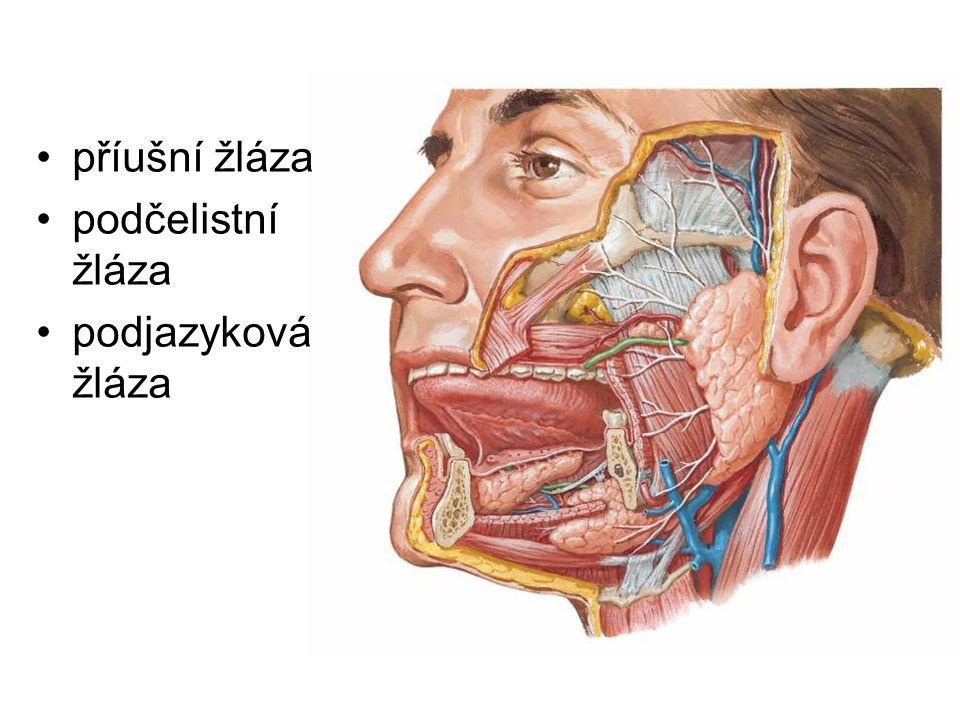 příušní žláza podčelistní žláza podjazyková žláza