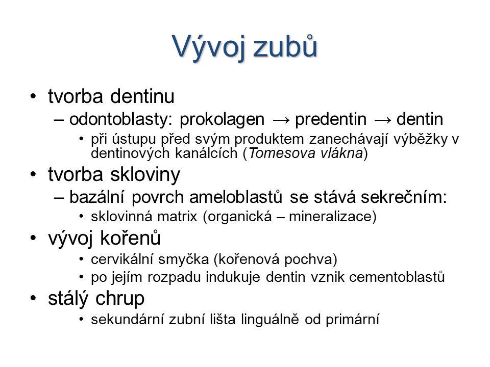 Vývoj zubů tvorba dentinu –odontoblasty: prokolagen → predentin → dentin při ústupu před svým produktem zanechávají výběžky v dentinových kanálcích (Tomesova vlákna) tvorba skloviny –bazální povrch ameloblastů se stává sekrečním: sklovinná matrix (organická – mineralizace) vývoj kořenů cervikální smyčka (kořenová pochva) po jejím rozpadu indukuje dentin vznik cementoblastů stálý chrup sekundární zubní lišta linguálně od primární