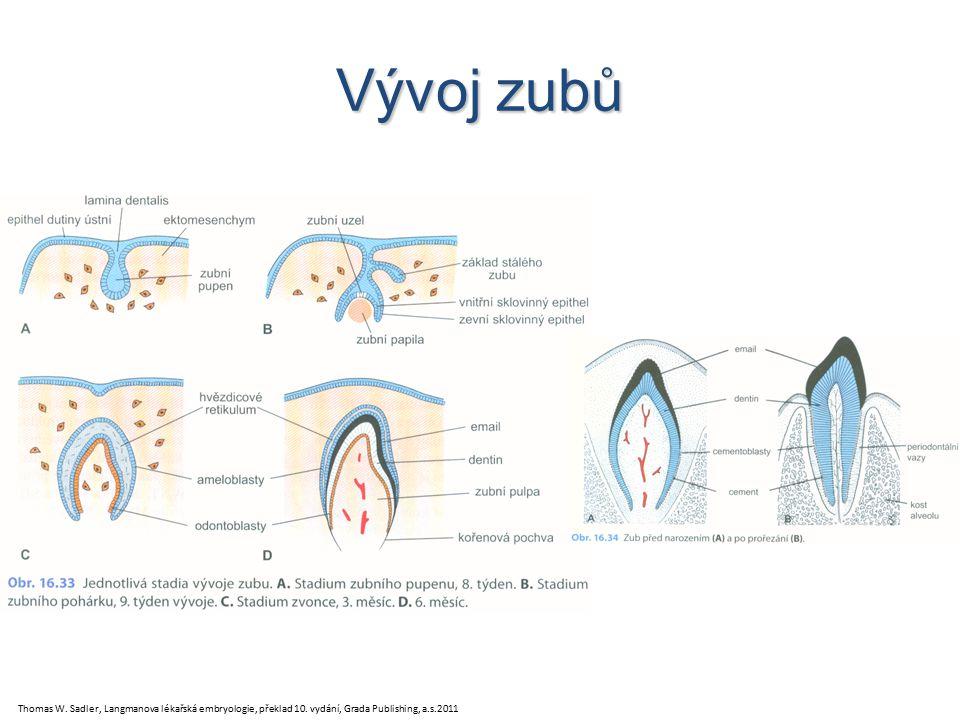 Vývoj zubů Thomas W.Sadler, Langmanova lékařská embryologie, překlad 10.