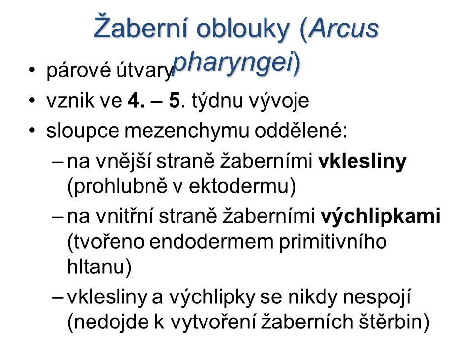 Žaberní oblouky (Arcus pharyngei) párové útvary vznik ve 4.