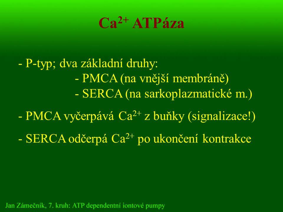 Ca 2+ ATPáza - P-typ; dva základní druhy: - PMCA (na vnější membráně) - SERCA (na sarkoplazmatické m.) - PMCA vyčerpává Ca 2+ z buňky (signalizace!) - SERCA odčerpá Ca 2+ po ukončení kontrakce
