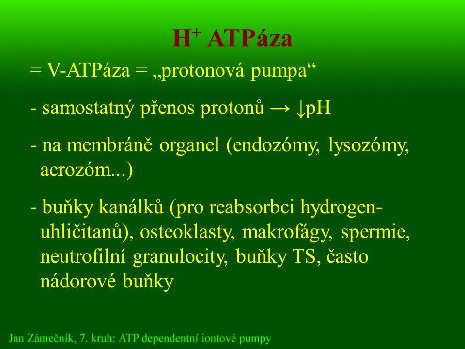 """= V-ATPáza = """"protonová pumpa - samostatný přenos protonů → ↓pH - na membráně organel (endozómy, lysozómy, acrozóm...) - buňky kanálků (pro reabsorbci hydrogen- uhličitanů), osteoklasty, makrofágy, spermie, neutrofilní granulocity, buňky TS, často nádorové buňky H + ATPáza"""