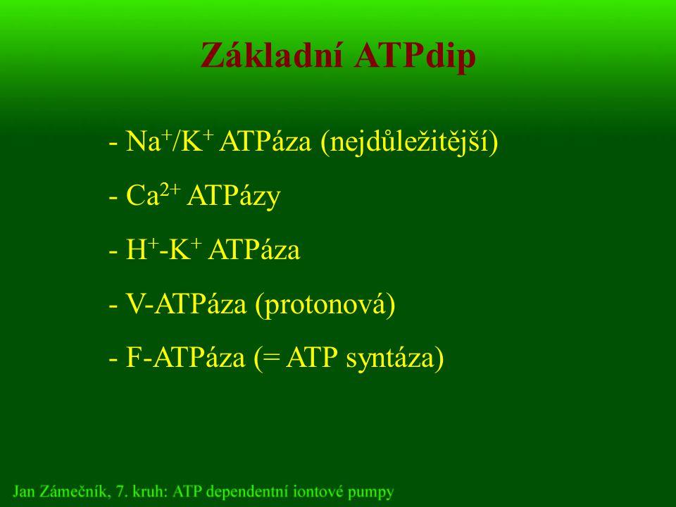 Základní ATPdip - Na + /K + ATPáza (nejdůležitější) - Ca 2+ ATPázy - H + -K + ATPáza - V-ATPáza (protonová) - F-ATPáza (= ATP syntáza)