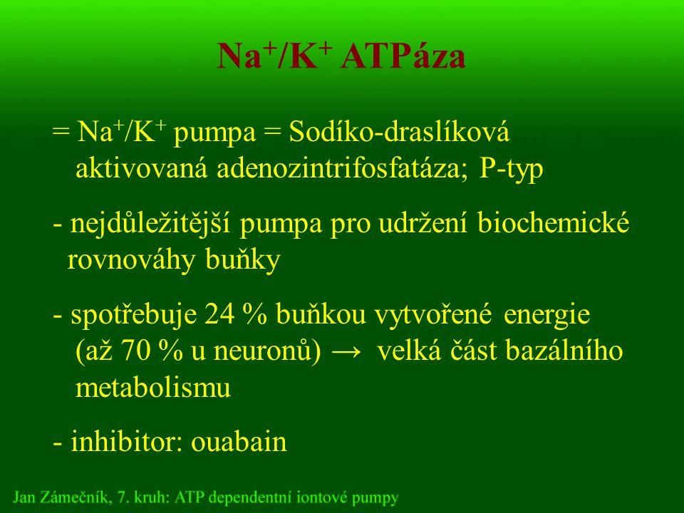 Na + /K + ATPáza = Na + /K + pumpa = Sodíko-draslíková aktivovaná adenozintrifosfatáza; P-typ - nejdůležitější pumpa pro udržení biochemické rovnováhy buňky - spotřebuje 24 % buňkou vytvořené energie (až 70 % u neuronů) → velká část bazálního metabolismu - inhibitor: ouabain