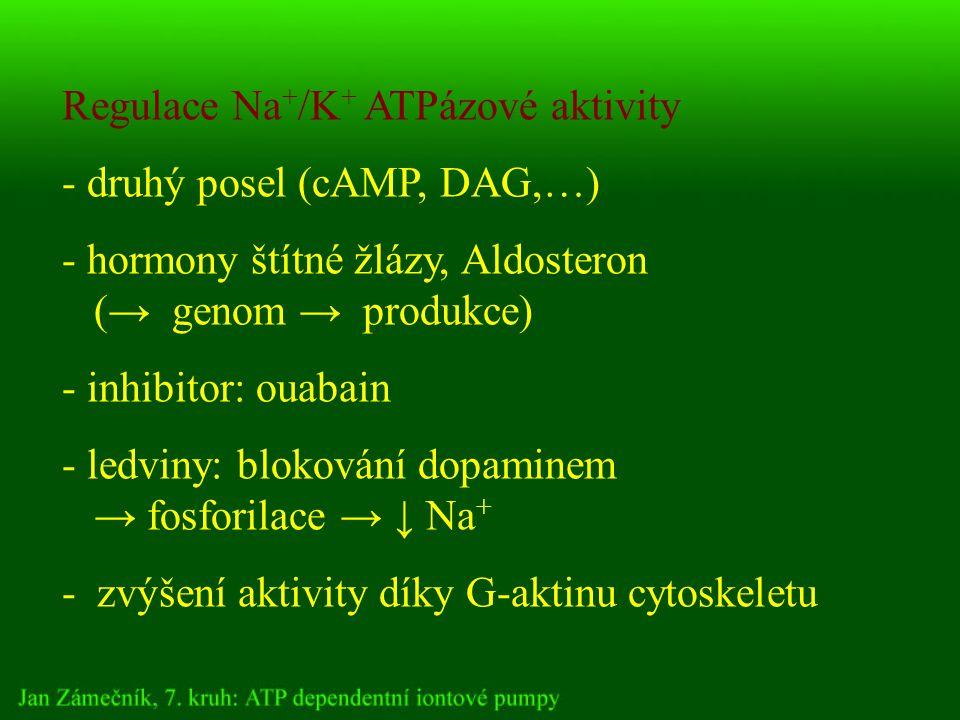 Regulace Na + /K + ATPázové aktivity - druhý posel (cAMP, DAG,…) - hormony štítné žlázy, Aldosteron (→ genom → produkce) - inhibitor: ouabain - ledviny: blokování dopaminem → fosforilace → ↓ Na + - zvýšení aktivity díky G-aktinu cytoskeletu