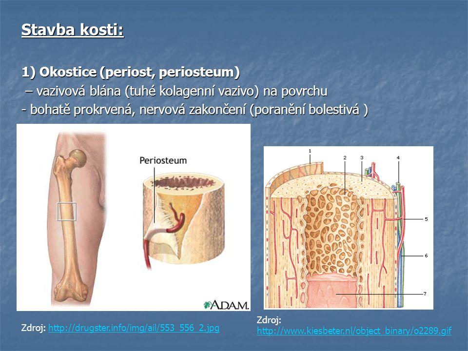 Stavba kosti: 1) Okostice (periost, periosteum) – vazivová blána (tuhé kolagenní vazivo) na povrchu – vazivová blána (tuhé kolagenní vazivo) na povrch