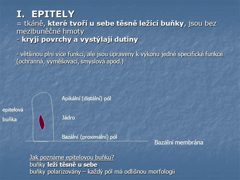 I. EPITELY = tkáně, které tvoří u sebe těsně ležící buňky, jsou bez mezibuněčné hmoty - kryjí povrchy a vystýlají dutiny - většinou plní více funkcí,