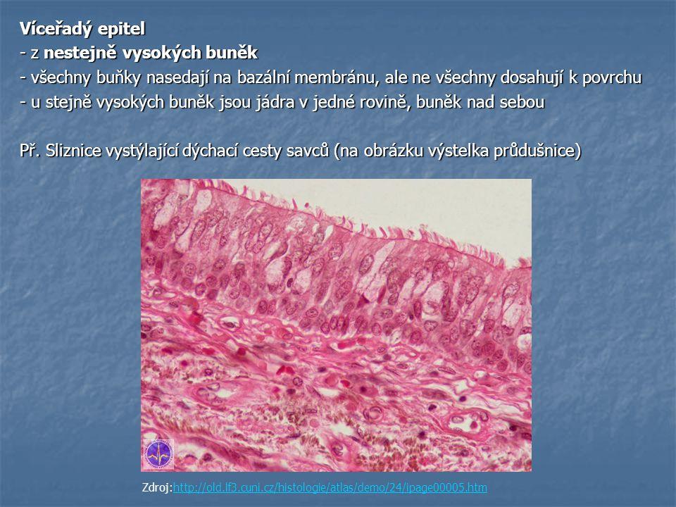 Víceřadý epitel - z nestejně vysokých buněk - všechny buňky nasedají na bazální membránu, ale ne všechny dosahují k povrchu - u stejně vysokých buněk