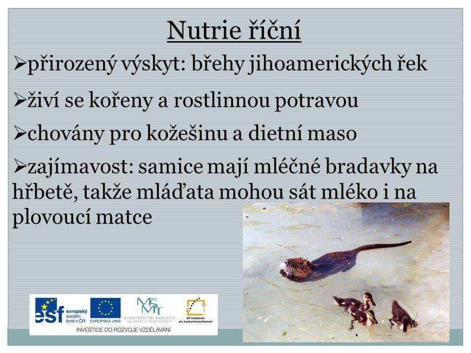 Nutrie říční  přirozený výskyt: břehy jihoamerických řek  živí se kořeny a rostlinnou potravou  chovány pro kožešinu a dietní maso  zajímavost: sa