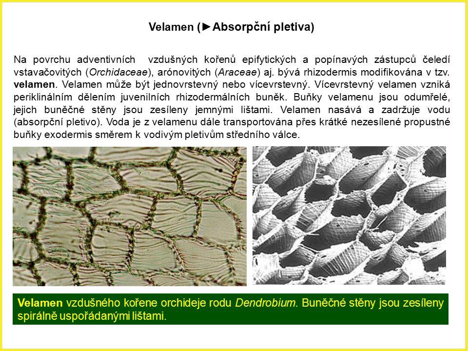 Velamen (►Absorpční pletiva) Na povrchu adventivních vzdušných kořenů epifytických a popínavých zástupců čeledí vstavačovitých (Orchidaceae), arónovit