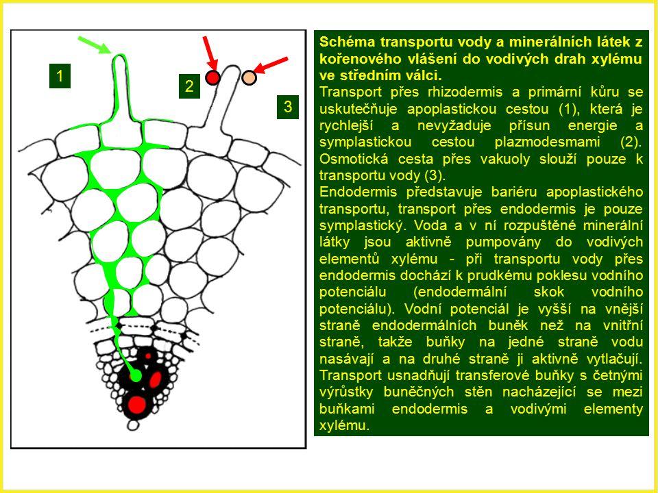 1 2 3 Schéma transportu vody a minerálních látek z kořenového vlášení do vodivých drah xylému ve středním válci. Transport přes rhizodermis a primární
