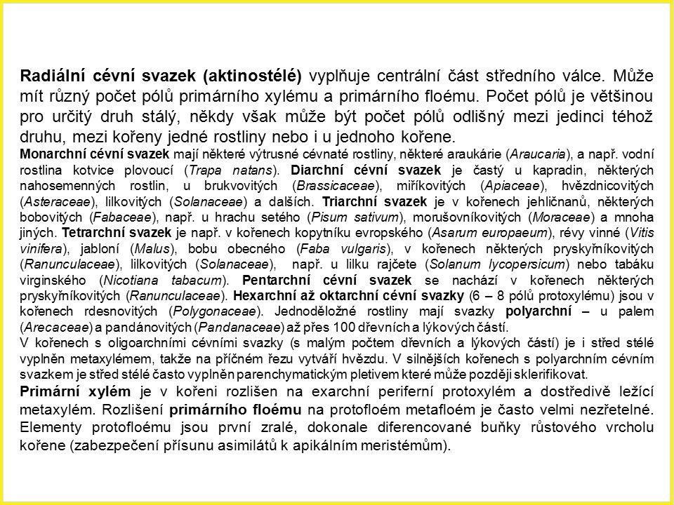 Radiální cévní svazek (aktinostélé) vyplňuje centrální část středního válce. Může mít různý počet pólů primárního xylému a primárního floému. Počet pó