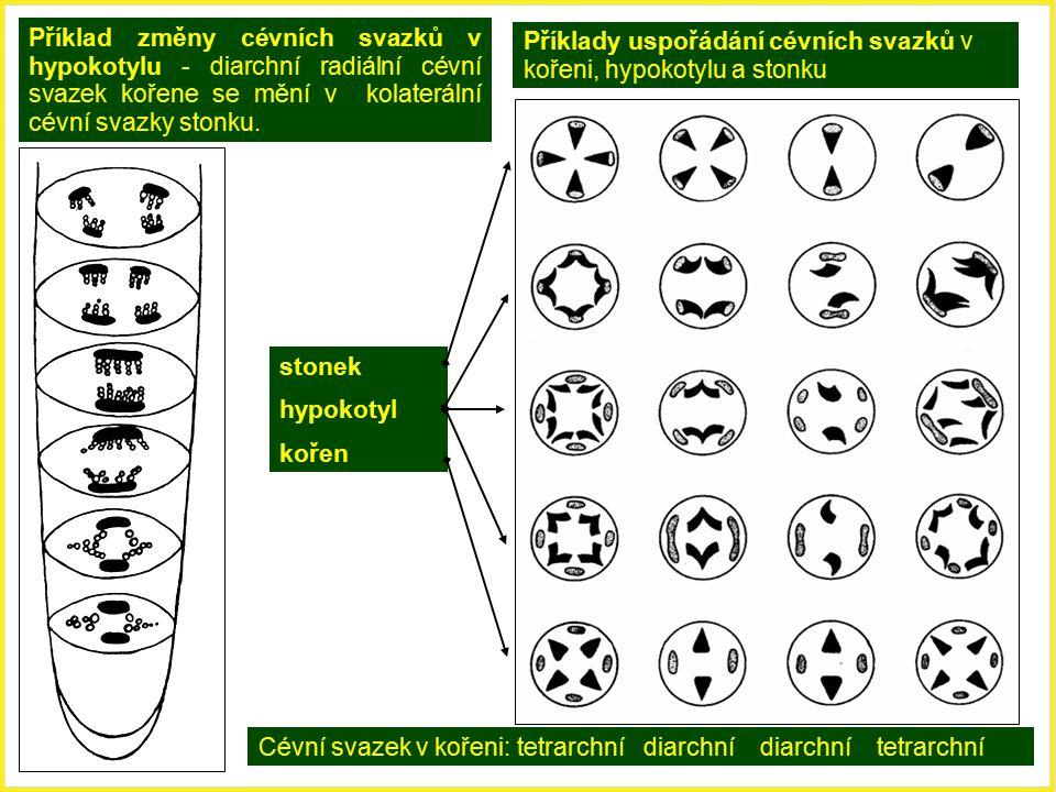Příklad změny cévních svazků v hypokotylu - diarchní radiální cévní svazek kořene se mění v kolaterální cévní svazky stonku. Příklady uspořádání cévní