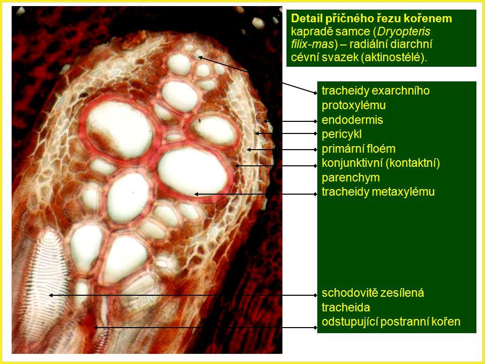 Detail příčného řezu kořenem kapradě samce (Dryopteris filix-mas) – radiální diarchní cévní svazek (aktinostélé). tracheidy exarchního protoxylému end