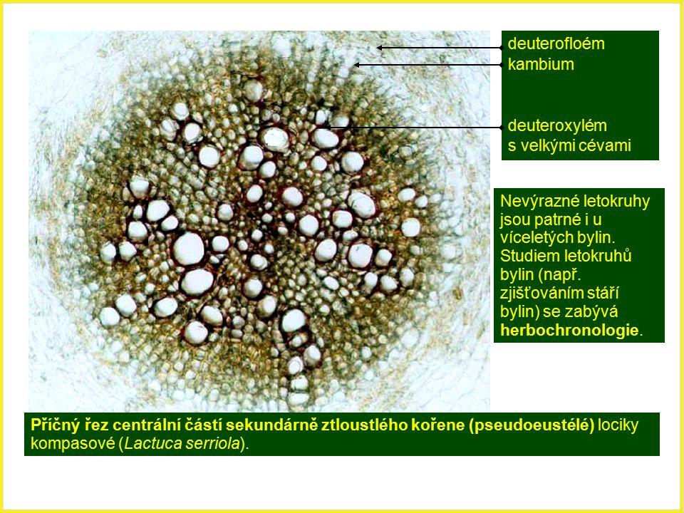 Příčný řez centrální částí sekundárně ztloustlého kořene (pseudoeustélé) lociky kompasové (Lactuca serriola). deuterofloém kambium deuteroxylém s velk