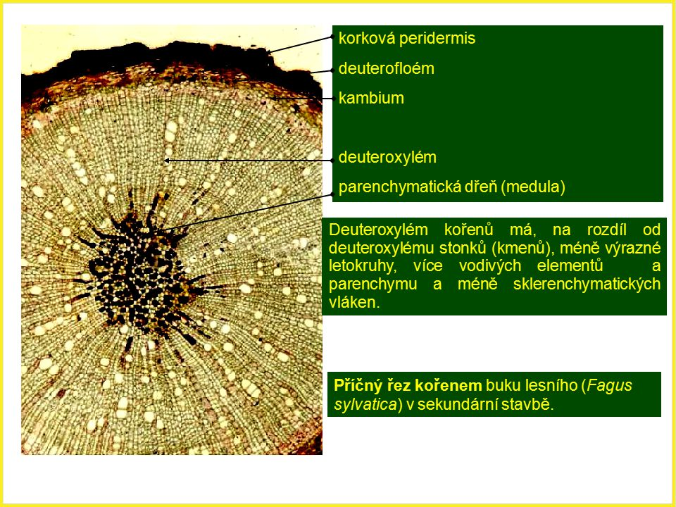 Příčný řez kořenem buku lesního (Fagus sylvatica) v sekundární stavbě. korková peridermis deuterofloém kambium deuteroxylém parenchymatická dřeň (medu