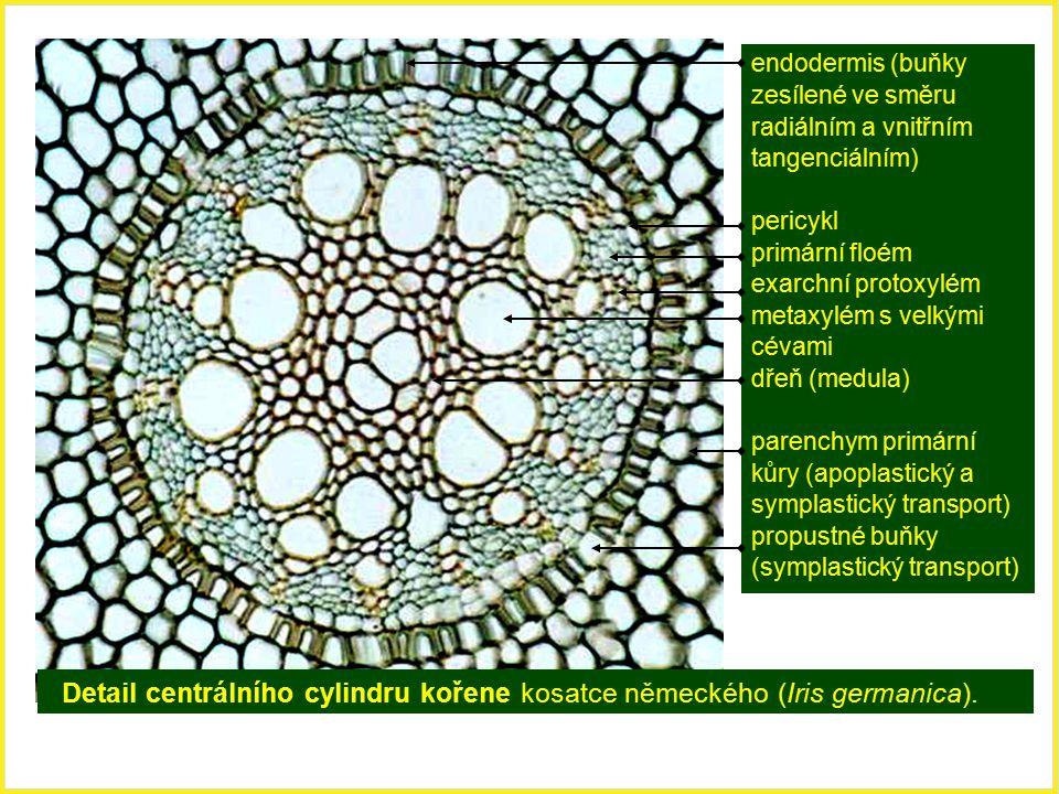 Detail centrálního cylindru kořene kosatce německého (Iris germanica). endodermis (buňky zesílené ve směru radiálním a vnitřním tangenciálním) pericyk