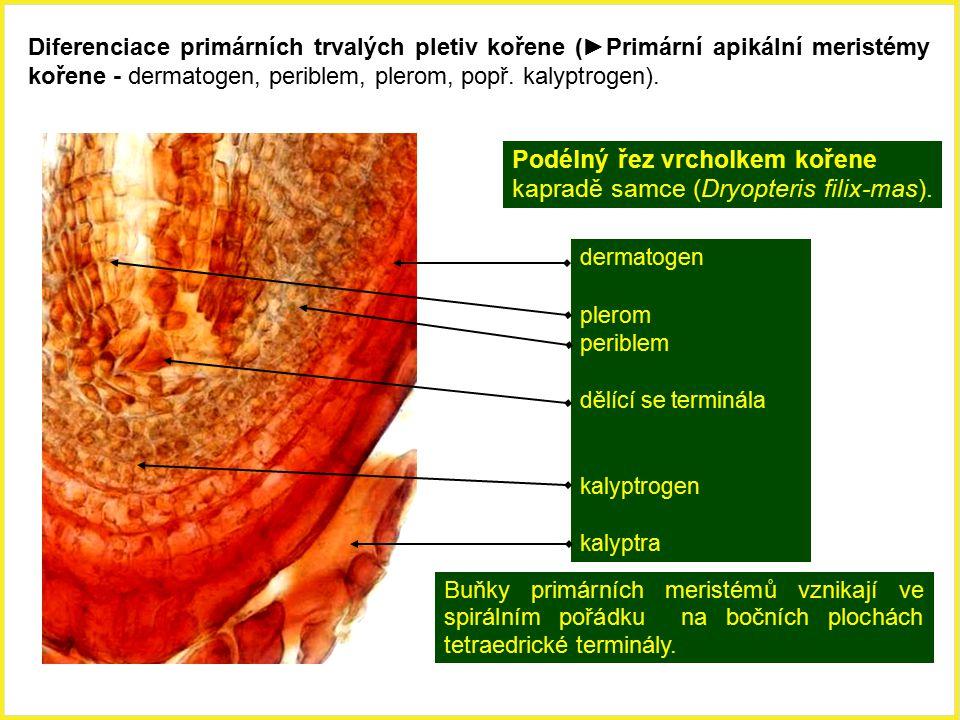 Podélný řez vrcholkem kořene kapradě samce (Dryopteris filix-mas). dermatogen plerom periblem dělící se terminála kalyptrogen kalyptra Buňky primárníc