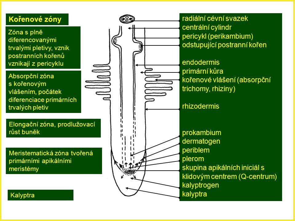 Kořenové zóny Zóna s plně diferencovanými trvalými pletivy, vznik postranních kořenů vznikají z pericyklu Absorpční zóna s kořenovým vlášením, počátek