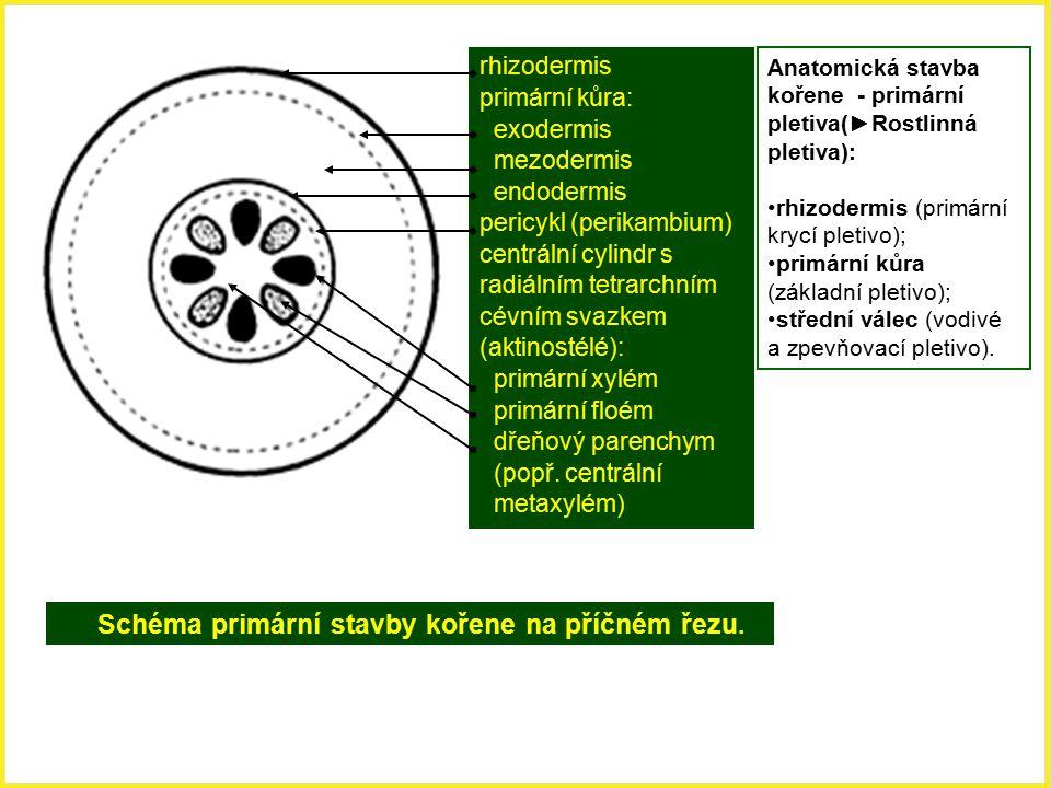 Schéma primární stavby kořene na příčném řezu. rhizodermis primární kůra: exodermis mezodermis endodermis pericykl (perikambium) centrální cylindr s r