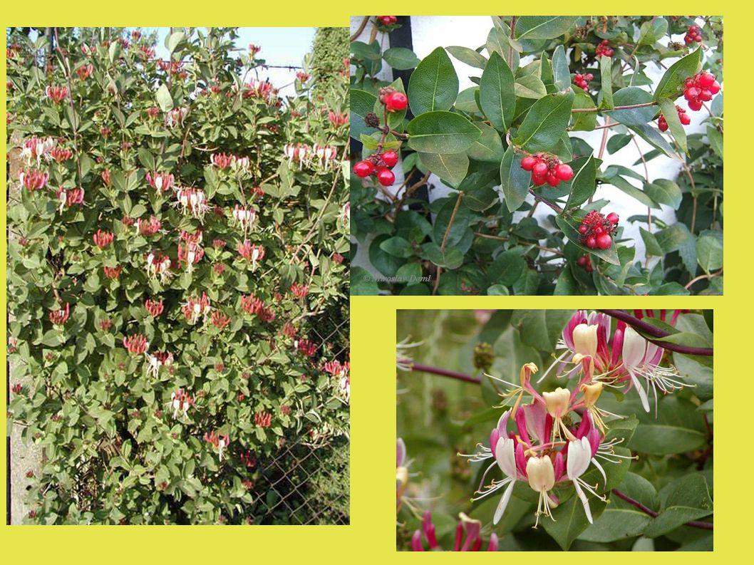 Kalina - Viburnum ● Středně vysoké keře ● Keře trubkovité v plochých vrcholících ● Plody – peckovičky ● Opadavé i stálezelené druhy