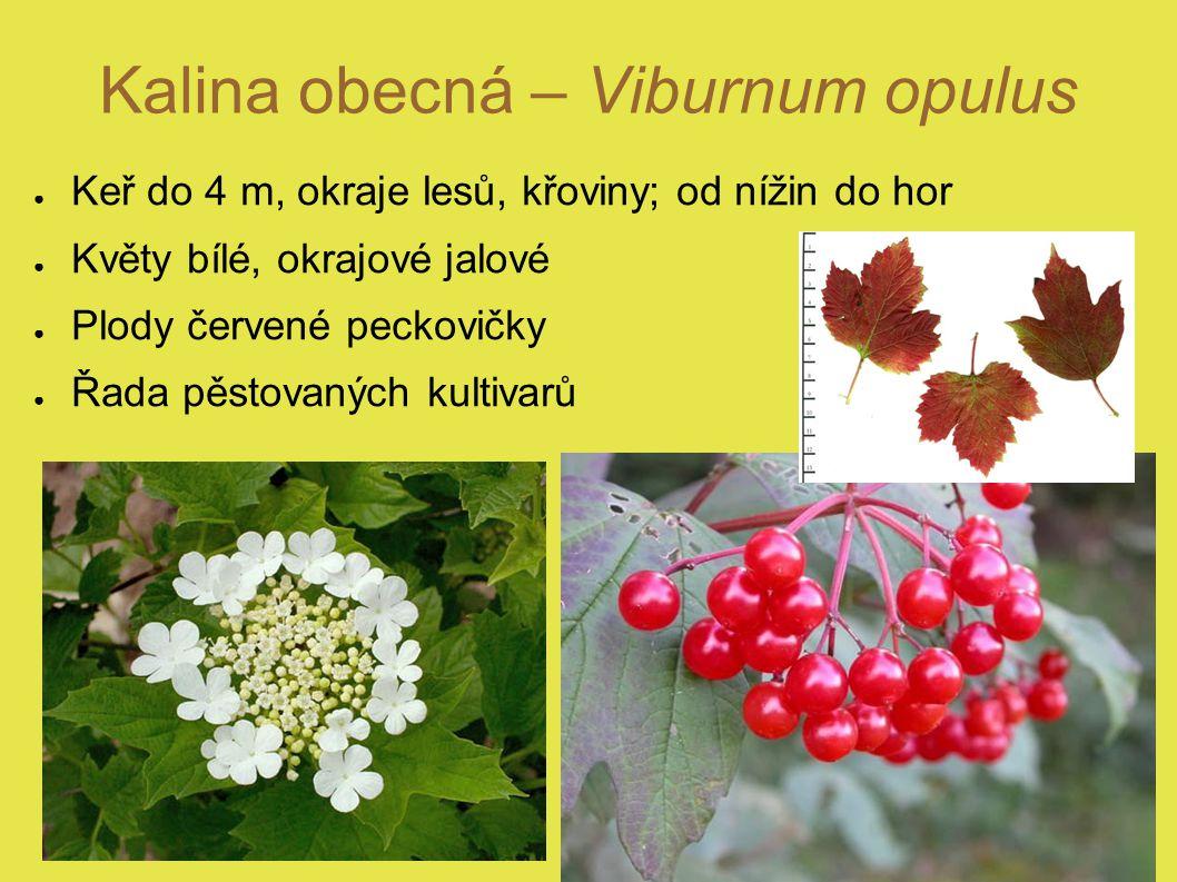 Kalina obecná – Viburnum opulus ● Keř do 4 m, okraje lesů, křoviny; od nížin do hor ● Květy bílé, okrajové jalové ● Plody červené peckovičky ● Řada pěstovaných kultivarů