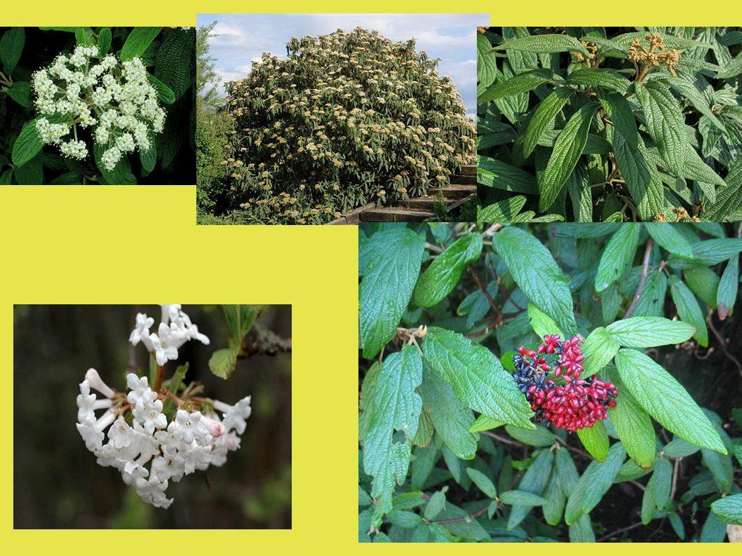 Význam a využití kalin ● Parkové dřeviny okrasné květem, listem i plodem ● Domácí druhy podle nároků na okraje lesů, svahy, stráně, remízky ● Některé druhy i v oblastech se znečištěným ovzduším