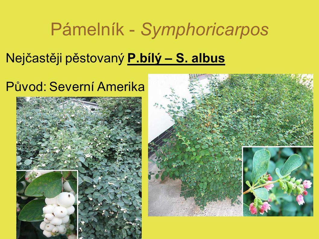 Pámelník - Symphoricarpos Nejčastěji pěstovaný P.bílý – S. albus Původ: Severní Amerika