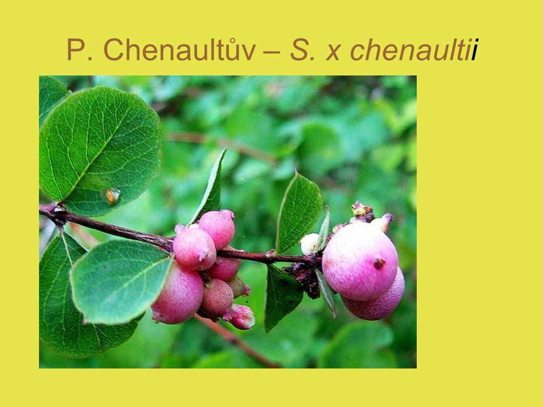 P. Chenaultův – S. x chenaultii