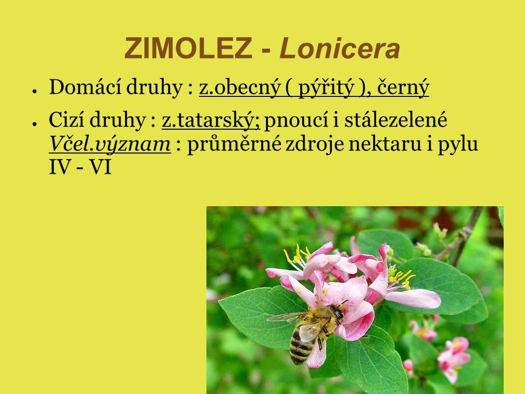 ZIMOLEZ - Lonicera ● Domácí druhy : z.obecný ( pýřitý ), černý ● Cizí druhy : z.tatarský; pnoucí i stálezelené Včel.význam : průměrné zdroje nektaru i pylu IV - VI