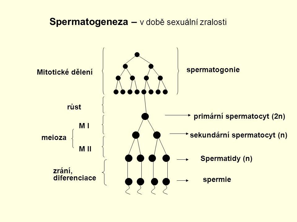 Spermatogeneza – v době sexuální zralosti spermatogonie Mitotické dělení primární spermatocyt (2n) sekundární spermatocyt (n) Spermatidy (n) spermie r