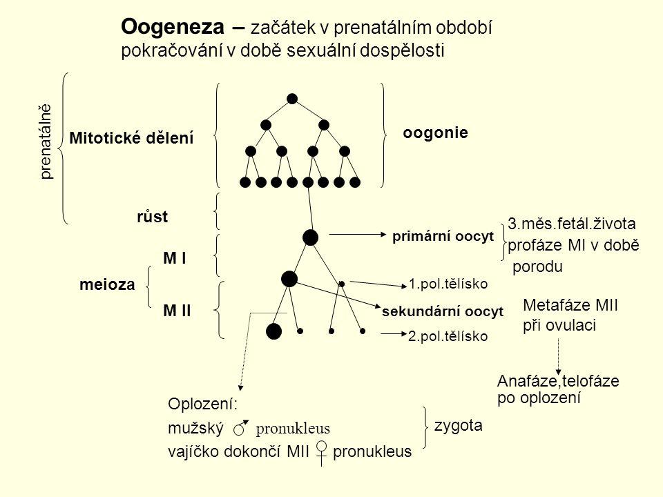 Oogeneza – začátek v prenatálním období pokračování v době sexuální dospělosti prenatálně oogonie Mitotické dělení primární oocyt sekundární oocyt růs