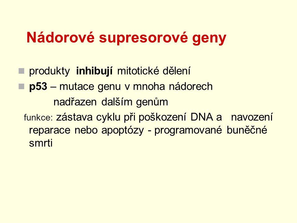 Nádorové supresorové geny produkty inhibují mitotické dělení p53 – mutace genu v mnoha nádorech nadřazen dalším genům funkce: zástava cyklu při poškoz