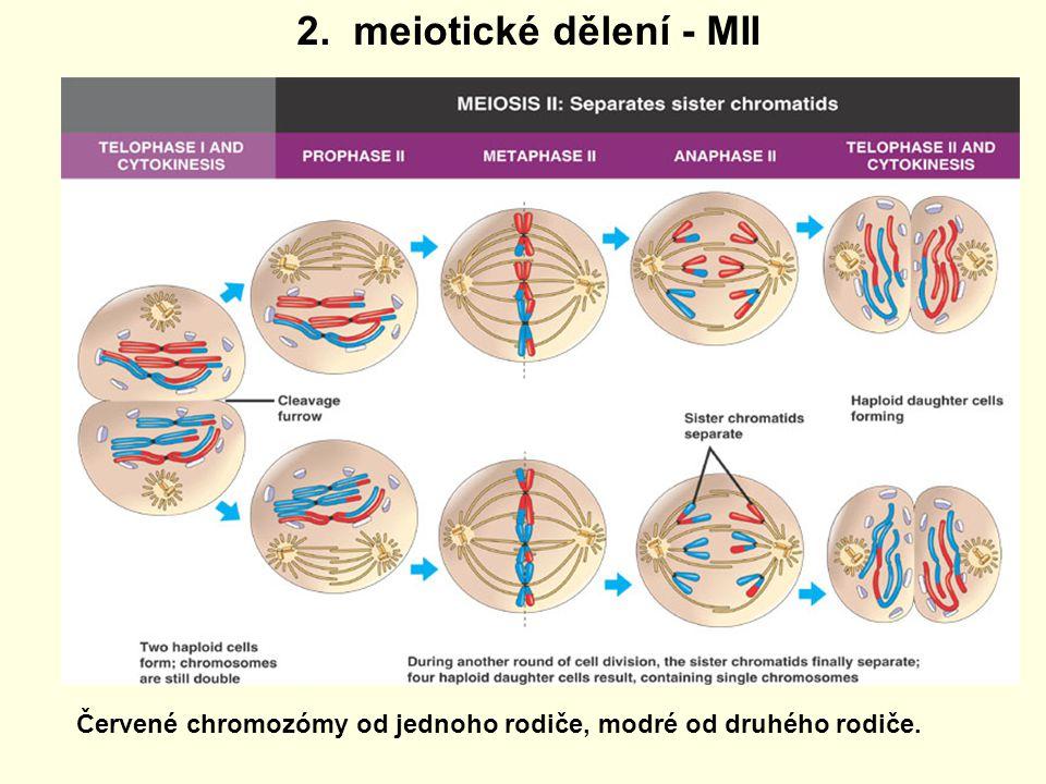 2. meiotické dělení - MII Červené chromozómy od jednoho rodiče, modré od druhého rodiče.
