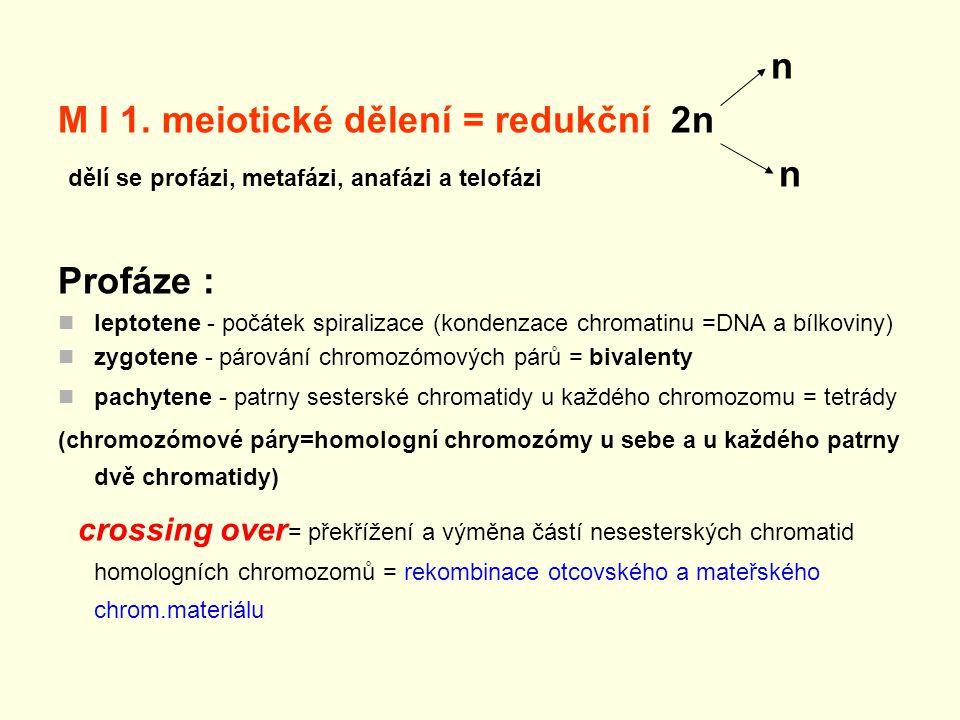 n M I 1. meiotické dělení = redukční 2n dělí se profázi, metafázi, anafázi a telofázi n Profáze : leptotene - počátek spiralizace (kondenzace chromati