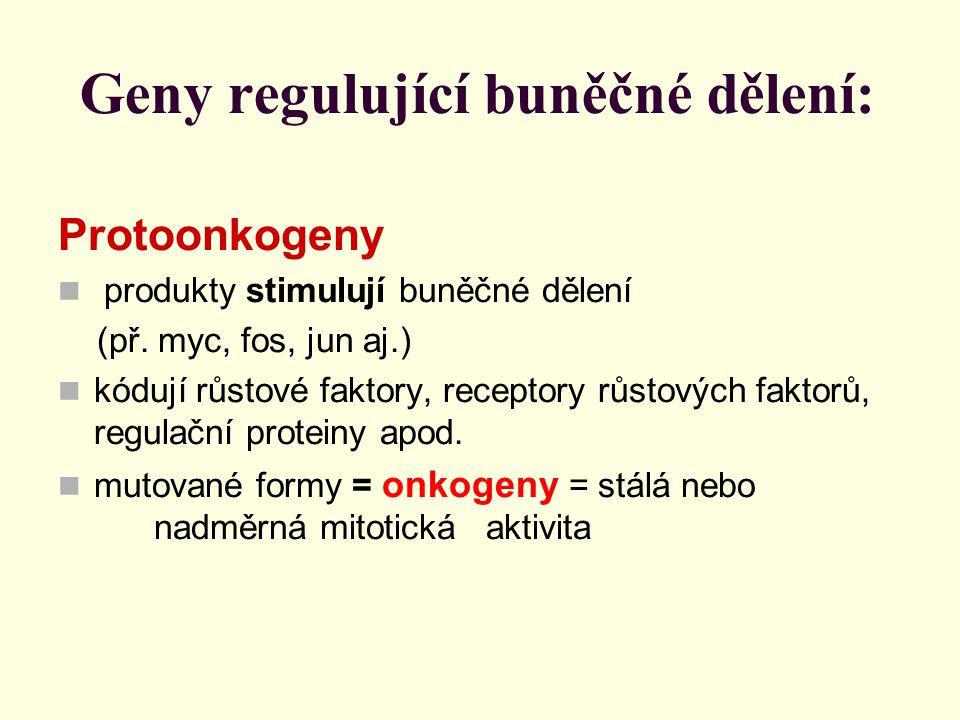 Geny regulující buněčné dělení: Protoonkogeny produkty stimulují buněčné dělení (př. myc, fos, jun aj.) kódují růstové faktory, receptory růstových fa