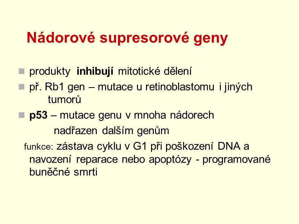 Nádorové supresorové geny produkty inhibují mitotické dělení př. Rb1 gen – mutace u retinoblastomu i jiných tumorů p53 – mutace genu v mnoha nádorech