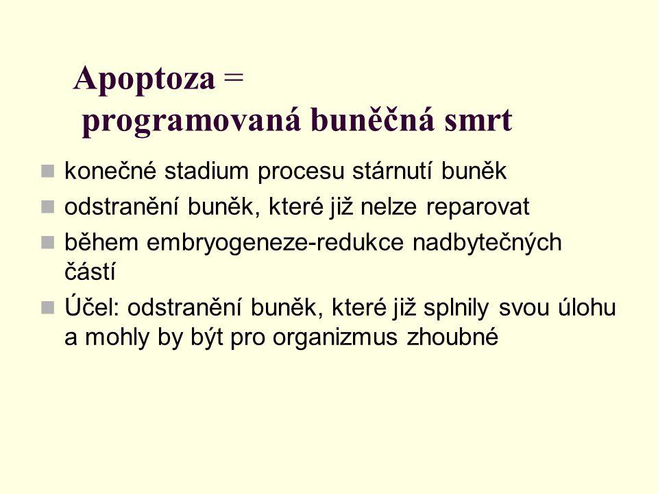 Apoptoza = programovaná buněčná smrt konečné stadium procesu stárnutí buněk odstranění buněk, které již nelze reparovat během embryogeneze-redukce nad