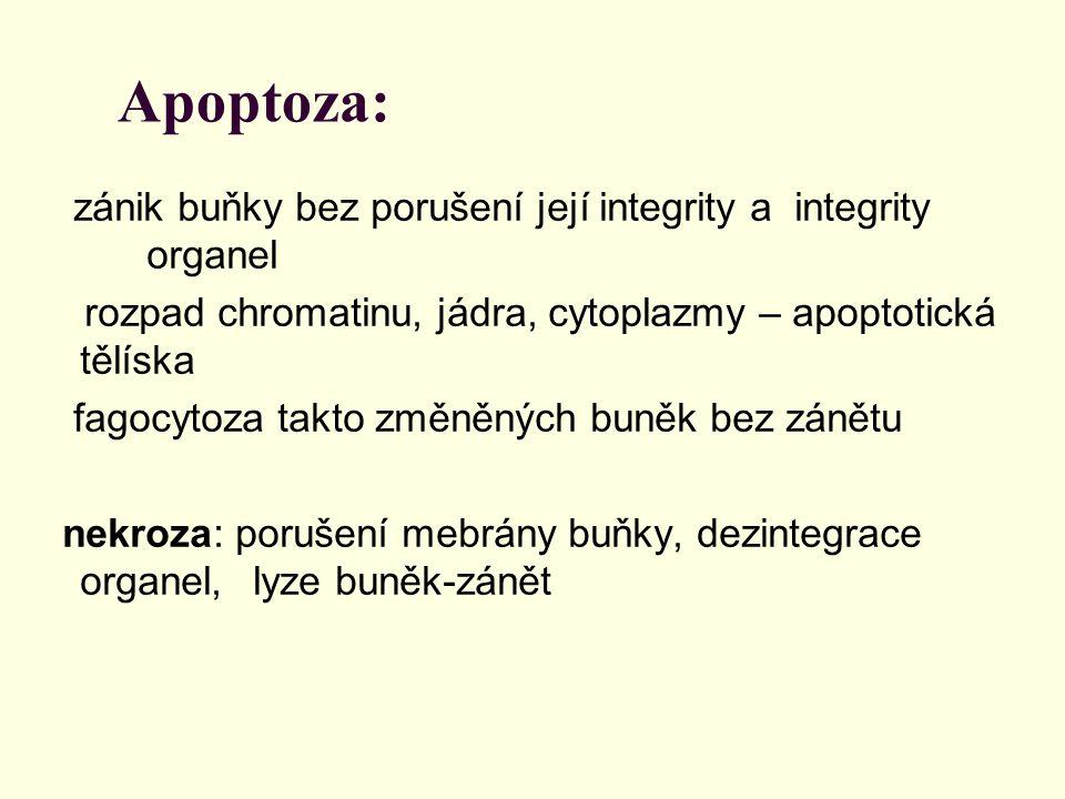 Apoptoza: zánik buňky bez porušení její integrity a integrity organel rozpad chromatinu, jádra, cytoplazmy – apoptotická tělíska fagocytoza takto změn
