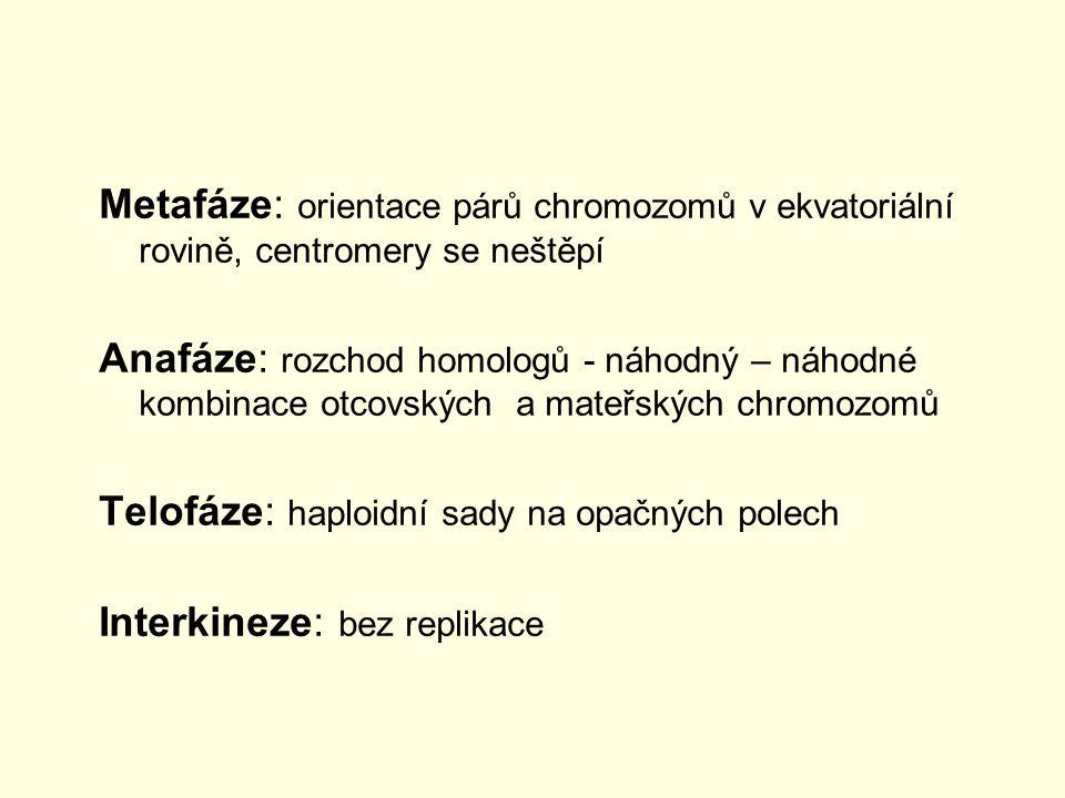 Metafáze: orientace párů chromozomů v ekvatoriální rovině, centromery se neštěpí Anafáze: rozchod homologů - náhodný – náhodné kombinace otcovských a
