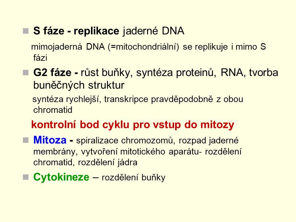 S fáze - replikace jaderné DNA mimojaderná DNA (=mitochondriální) se replikuje i mimo S fázi G2 fáze - růst buňky, syntéza proteinů, RNA, tvorba buněč