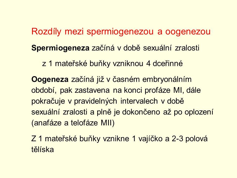 Rozdíly mezi spermiogenezou a oogenezou Spermiogeneza začíná v době sexuální zralosti z 1 mateřské buňky vzniknou 4 dceřinné Oogeneza začíná již v čas