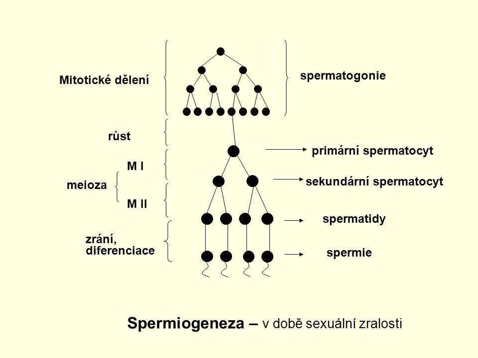 spermatogonie Mitotické dělení primární spermatocyt sekundární spermatocyt spermatidy spermie růst M I M II meioza zrání, diferenciace Spermiogeneza –