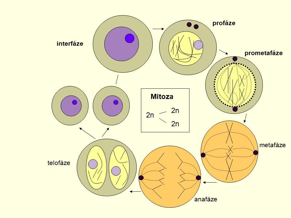 interfáze profáze prometafáze metafáze anafáze telofáze Mitoza 2n