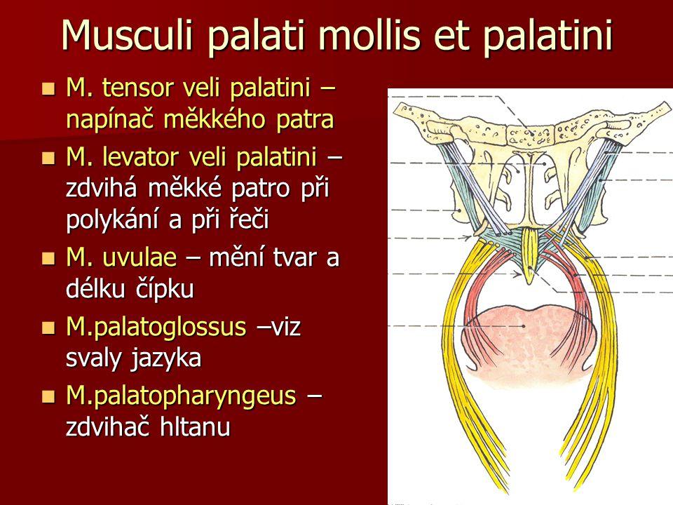 Musculi palati mollis et palatini M. tensor veli palatini – napínač měkkého patra M. tensor veli palatini – napínač měkkého patra M. levator veli pala